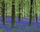A colourful carpet of Bluebells amongst the straight trunks of the trees in Dockey Wood on the Ashridge Estate