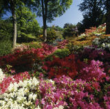 Azaleas and rhododendrons near the Shrub Borders at Bodnant