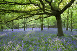 Bluebells carpet the woodland to the west of the house at Speke Hall, Merseyside