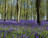 View of bluebells under the trees at Badbury Clump in Coleshill in Oxfordshire