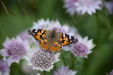 Painted Lady butterfly (Vanessa cardui) on Astrantia flowers in May at Greenway, Devon
