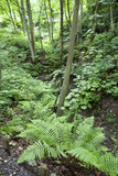 Ferns in the woodland on the estate at Gibside, Newcastle upon Tyne
