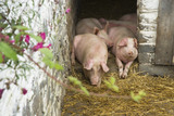 Pigs relaxing in their sty on the estate at Llanerchaeron, Ceredigion, Wales