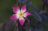 Close-up of Rosa glauca (syn. R. rubrifolia)