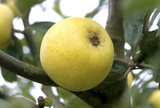 A Yellow Ingestre apple, one of the old apple varieties, pictured in Berrington Hall