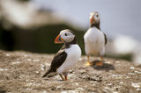 Two Puffins perched on a flat rocky area on Staple Island, Inner Farne, which makes up part of the Farne Islands