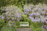 Wisteria makes a natural arbour for a white garden bench at Hidcote Manor Garden, in the Cotswolds, Gloucestershire