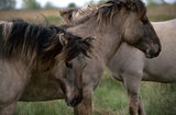 Konik ponies at Wicken Fen, Cambridgeshire