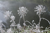 Frost highlighting the delicate structure of umbellifer seed heads, on the banks of the Rivery Wey Navigations, Send, Surrey in November