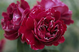 Close view of Rose 'Souvenir du Docteur Jamain' a red Bourbon rose at Greys Court