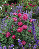 Closeup of red roses, campanulas and purple flowers in a border at Mottisfont Abbey