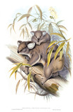 Phascolarctos cinerets, koala bear, illustrations from Mammals of Australia, by John Gould, (London, 1845 - 1863) at Calke Abbey