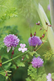 Close-up of chives with wild flowers and herb Robert, in the garden at Greenway
