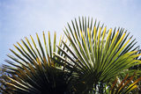 Close-up of the spikey fronds of a palm tree (Trachycarpus) in the garden at Greenway