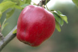 "A ""Crimson Queening"" apple at Berrington Hall during September"