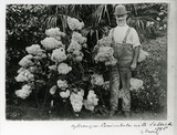 Sellick the gardener with a magnificent Hydrangea Paniculata at Saltram taken in 1895