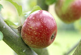 A Ten Commandments apple variety pictured in Berrington Hall during September
