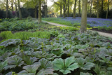 The Bog Garden with bluebells stretching away into the woodland at Dunham Massey, Cheshire