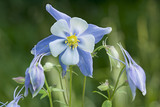 Close up of a blue Aquilegia vulgaris (Granny's bonnets) in the garden at  Great Chalfield Manor, Wiltshire