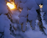 Close up detail of snow hanging of a tree at Emmetts Garden, with evergreen pine needles just peeking through below
