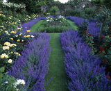 Lavender and roses in the Pergola garden at Gunby Hall