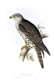 BIRDS OF EUROPE - HONEY BUZZARD (Pernis apivorus) by John Gould, London 1837, from the Library at Blickling Hall