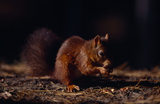 View of a foraging Red Squirrel at Formby