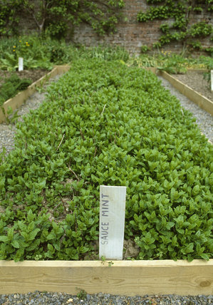 A plot of Sweet Mint in the walled garden at Llanerchaeron, an C18th Welsh estate, near Aberaeron, where they produce home grown fruit, vegetables and herbs