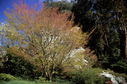 View of part of Greenway Garden showing a small tree in full leaf, with conifers behind