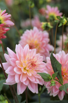 A close up of the Dahlia 'Gerry Hoek' in the Dahlia Walk at Cragside