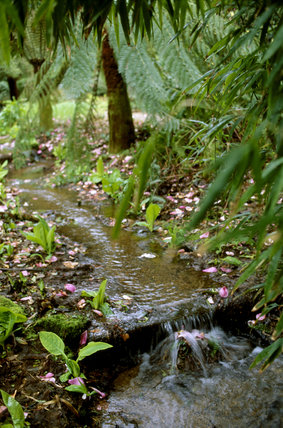 Part of the Lower Stream Gardens at Trengwainton with tree ferns on the bankside and the stream trickling over a fallen log