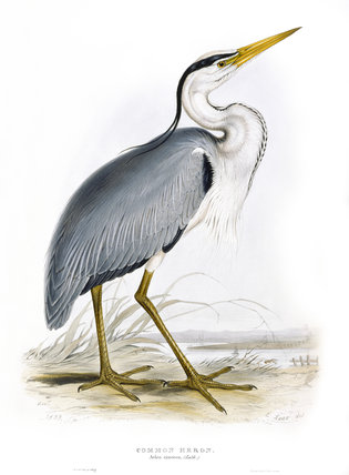 BIRDS OF EUROPE - COMMON HERON (Ardea cinerea) in the 19th century book by John Gould (1804-81) in the Library at Blicking Hall