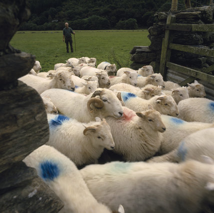 IMAGE NOT FOR US. Farmer John Till working with Welsh Mountain sheep. M.R. (Farmer no longer a tenant)
