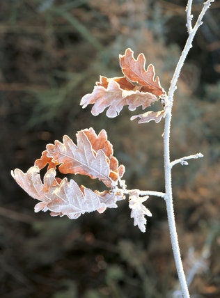 Frost covered leaves hang from the branch of an Oak tree- Quercus sp at Ludshott Common
