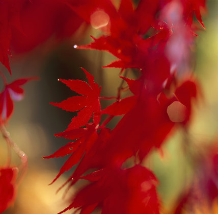 Close-up of Acer leaves (Maple) in red Autumn colour