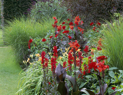 The Red Border with Hemerocallis(Day Lily) `Kwanso Flore Plena' Lobelia `Queen Victoria' and `Will Scarlet' and Miscanthus sinenis `Gracillimus'