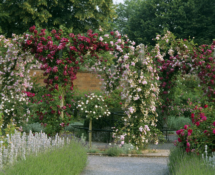 Arches Of Climbing Roses In The Rose Garden At Mottisfont