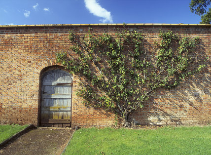 Door In The Old Walled Garden At Tyntesfield Showing A Remaining Peach  Tree, And Eyes For Training Wires On The Wall Which Were Previously Used To  Support ...