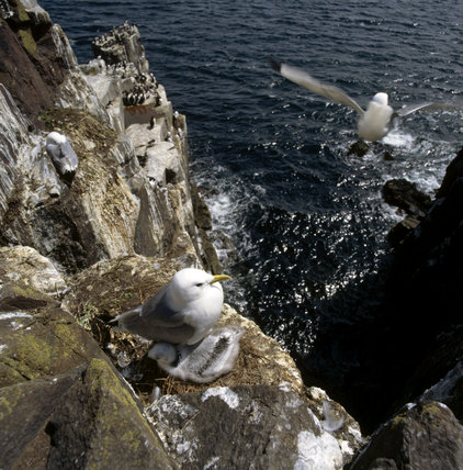 A Kittiwick and its young chick nestle on a rocky cliff ledge, there is a step drop to the sea below and another bird can be seen mid flight