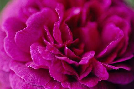 Close-up of Bourbon rose also known as R. `Zigeunerknabe'