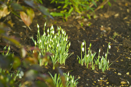 Snowdrops emerging from the soil in the Winter Walk at Anglesey Abbey, Cambridgeshire