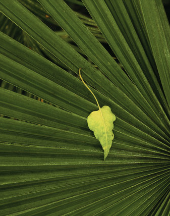 A pointed leaf resting on the long leaves of another plant, in the Orangery at Belton House