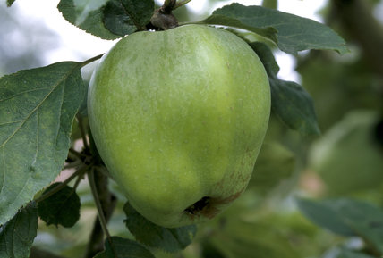 A Cat's Head apple pictured in the orchard at Berrington Hall