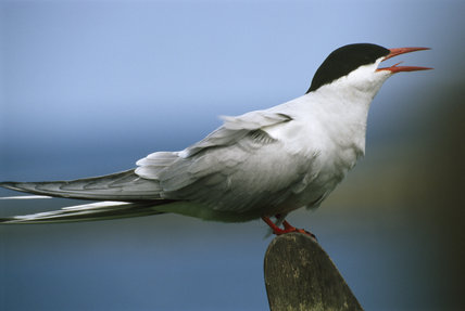 A lone Tern on a rock in the Farne Islands, the bird has long pointed wings and a forked tail