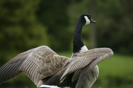 A Canada Goose flexing its wings on the lawn by the Turf Bridge at Stourhead, Wiltshire, UK