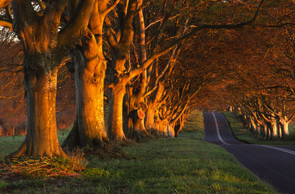 An avenue of beech trees on the B3082 road, near Badbury Rings towards Kingston Lacy, Dorset, UK in late autumn