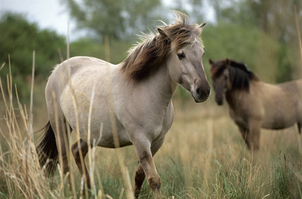 Konik ponies on Wicken Fen