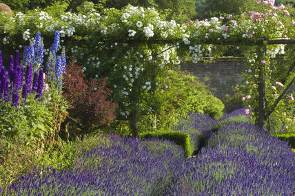 Beds of lavender in the walled garden at Polesden Lacey, Surrey with delphiniums in the border wnd shite roses trailing over a pergola