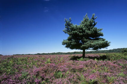 Hale Purlieu in the New Forest, east side, Hampshire, Scots Pine with Bell heather & Ling flowering