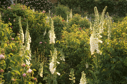 White foxgloves and peonies against a background of foliage